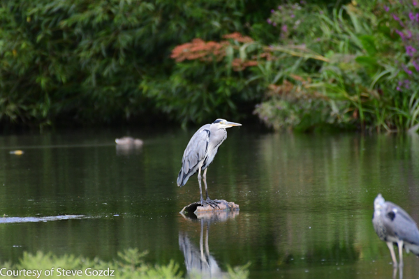 Heron spotted whilst walking the Thames Path